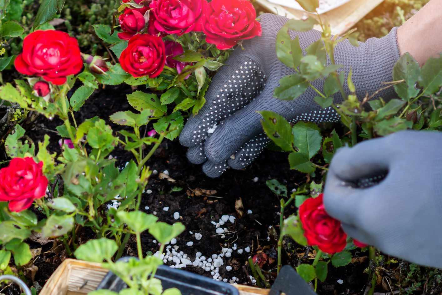 Applying granular fertilizer to the base of the plant