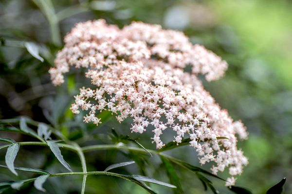 Black lace elderberry plant with small white and light pink flower flat-topped clusters closeup