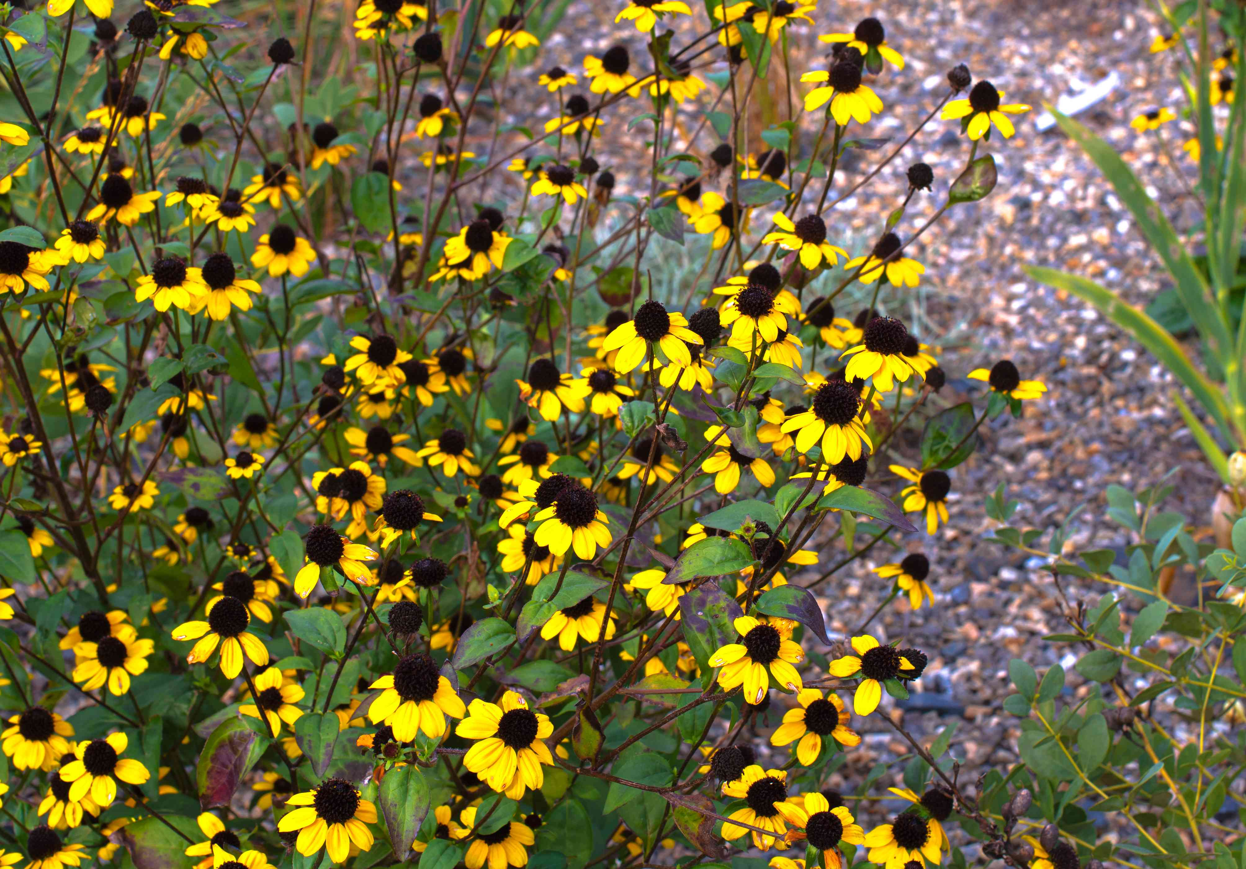 Brown-eyed susan wildflowers with bright yellow blooms and brown round centers on thin stems closeup