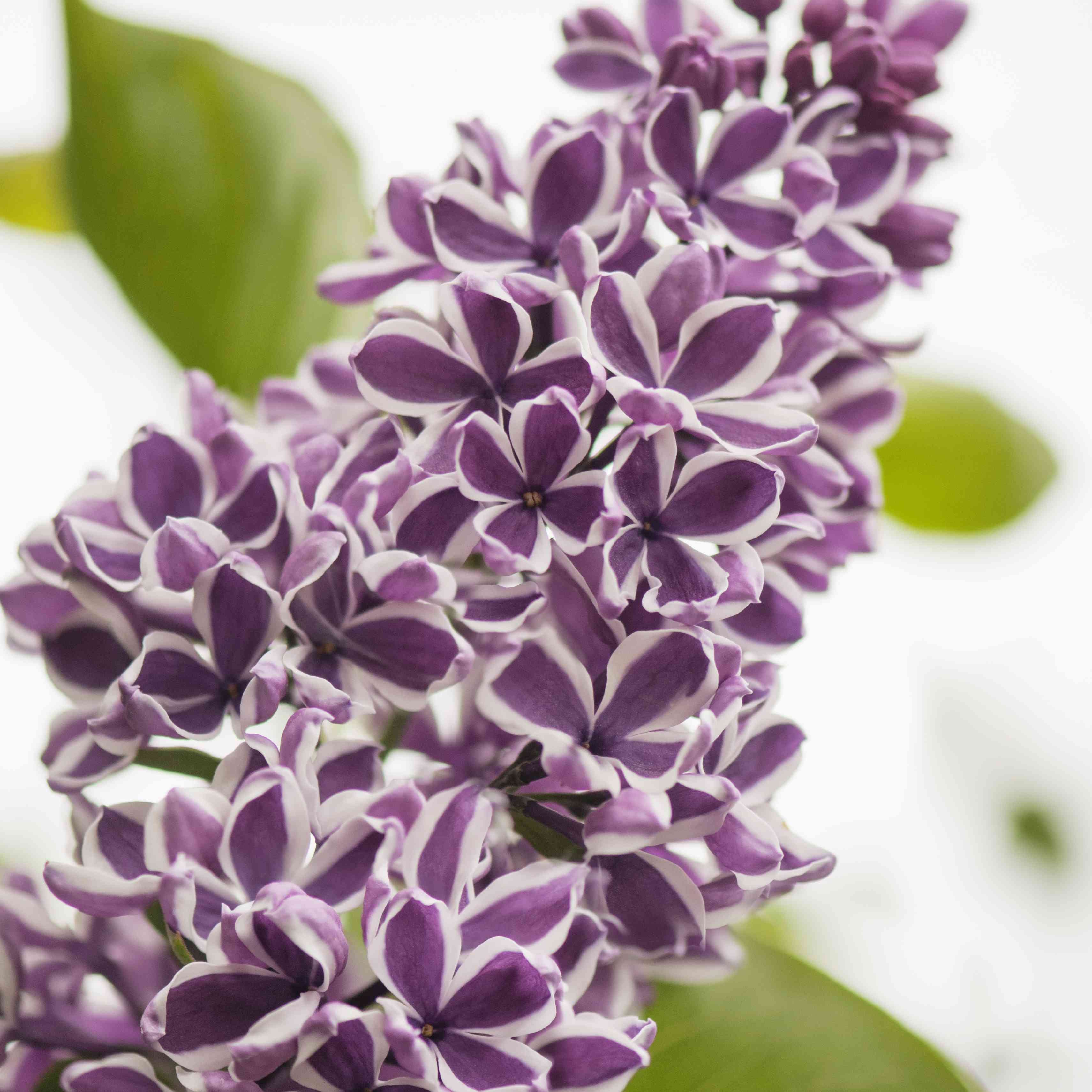 The Sensation lilac with purple-and-white flowers
