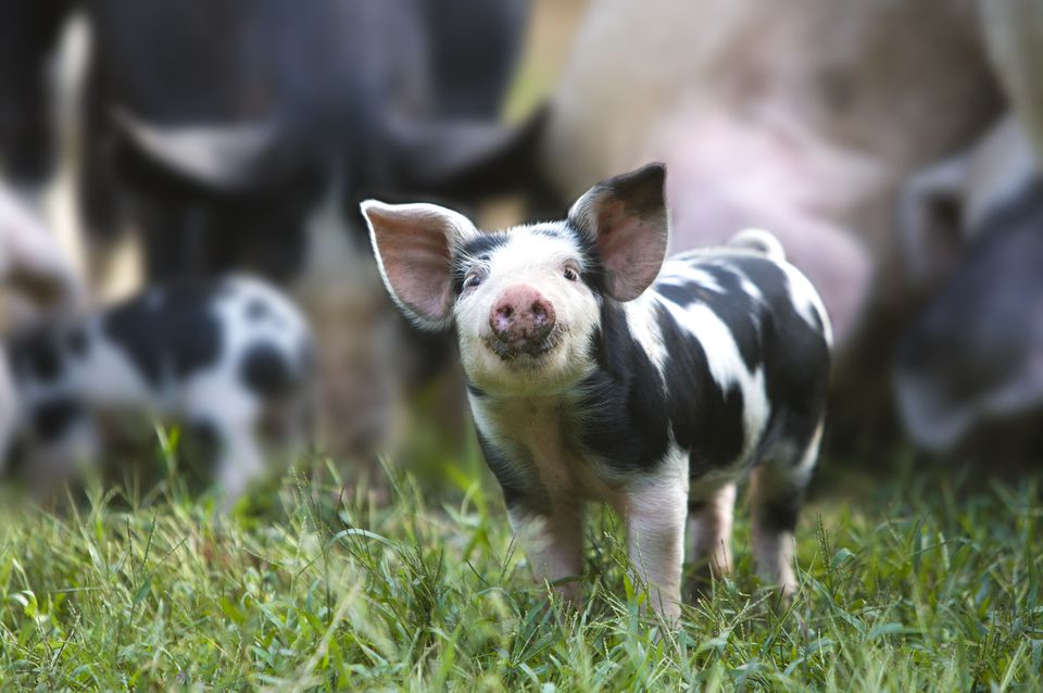 How To Choose Pig Breeds For Your Farm