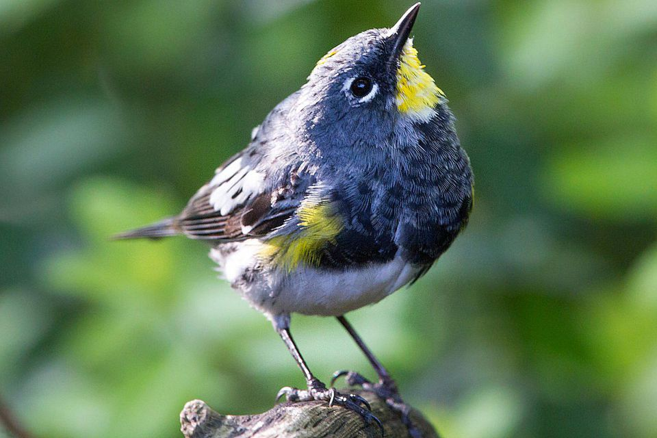 Yellow-Rumped Warbler - Audubon's Subspecies