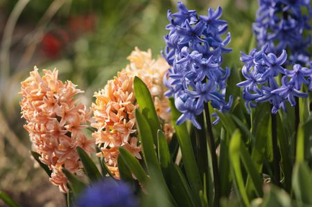 Planting Growing And Caring For Hyacinth Bulbs