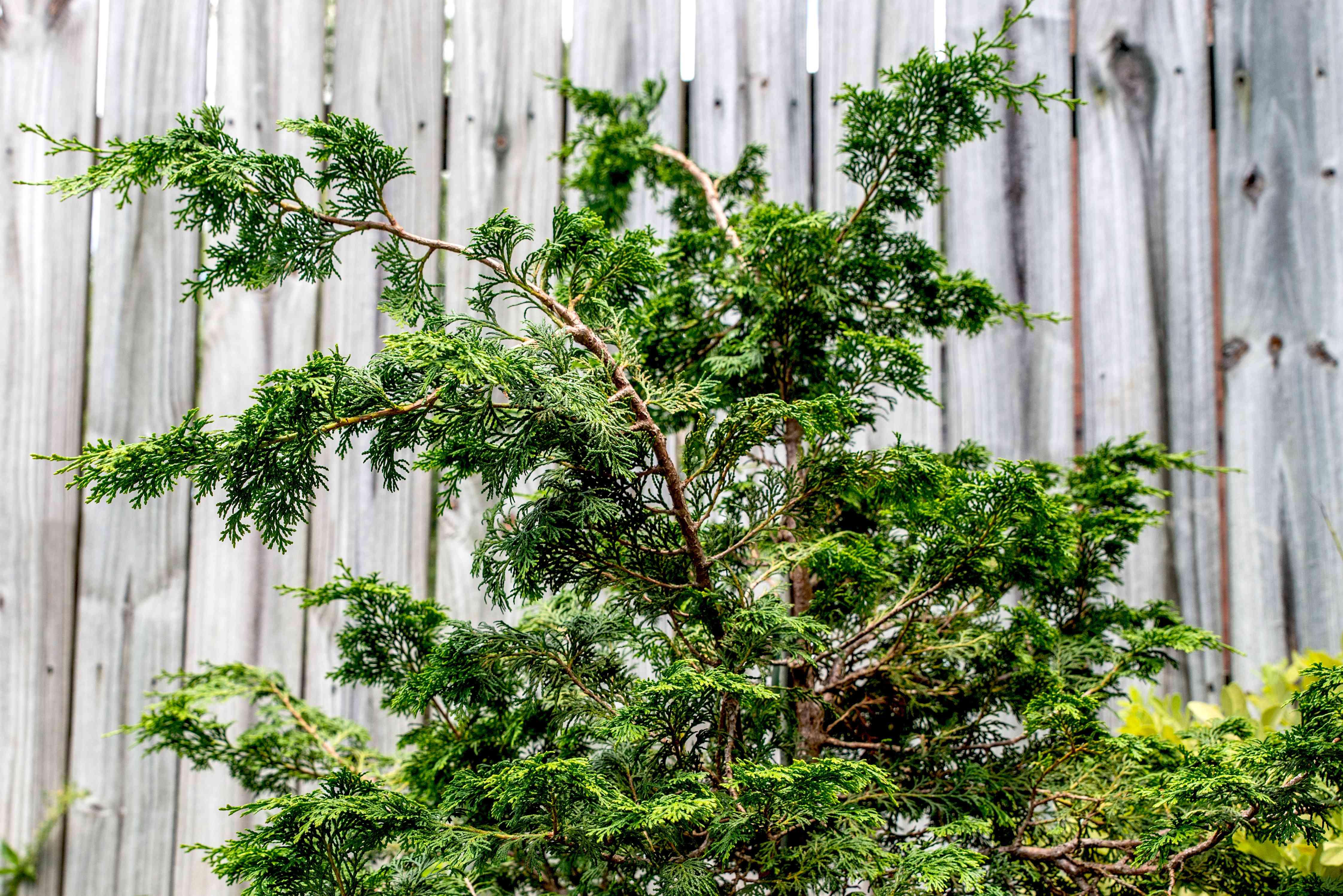 hinoki cypress tree