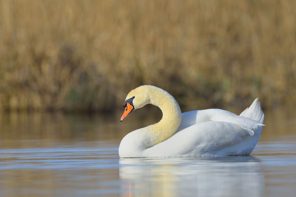 Portrait of Mute Swan (Cygnus olor) swimming on Lake, Hesse, Germany