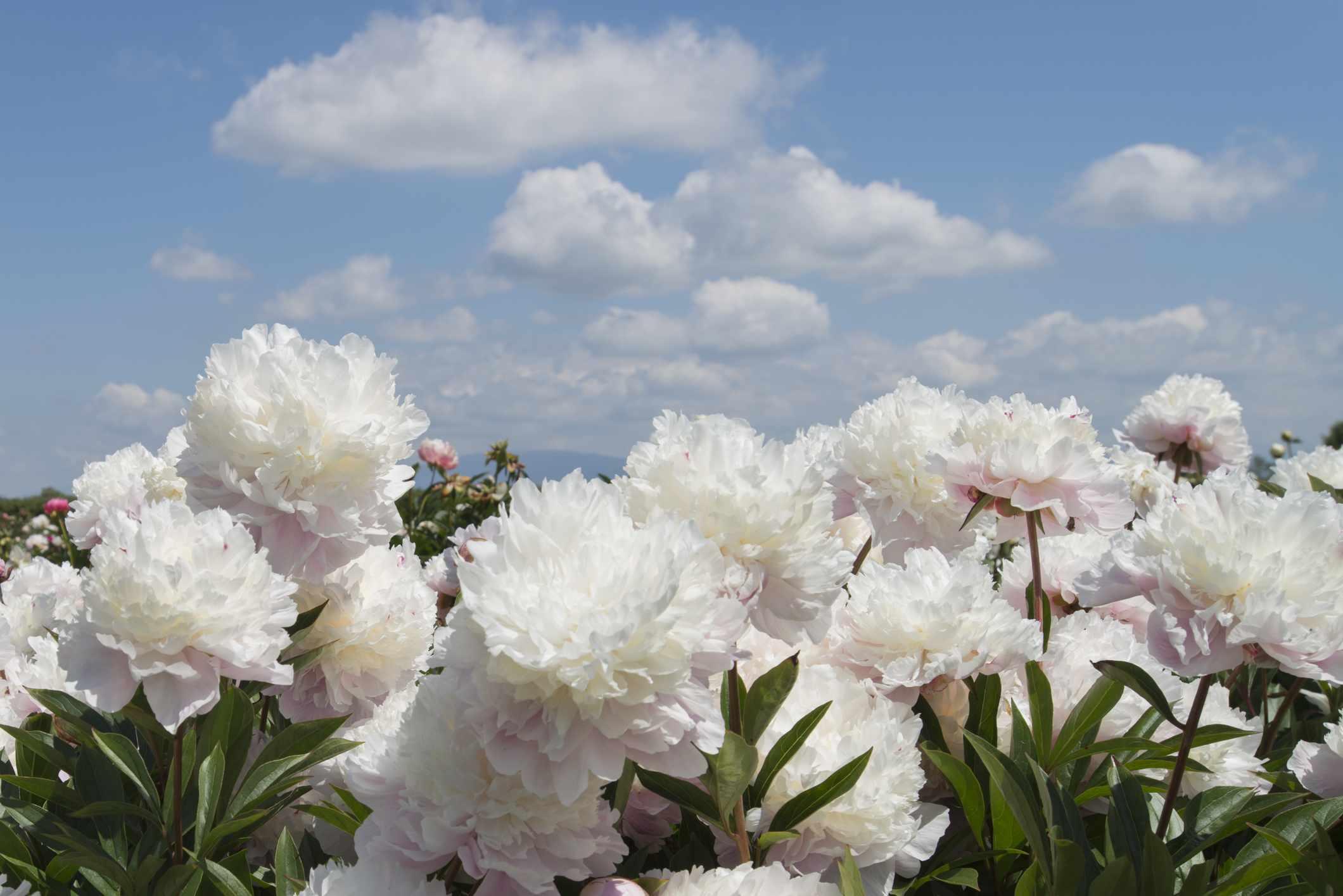 32 Beautiful Varieties of Peony