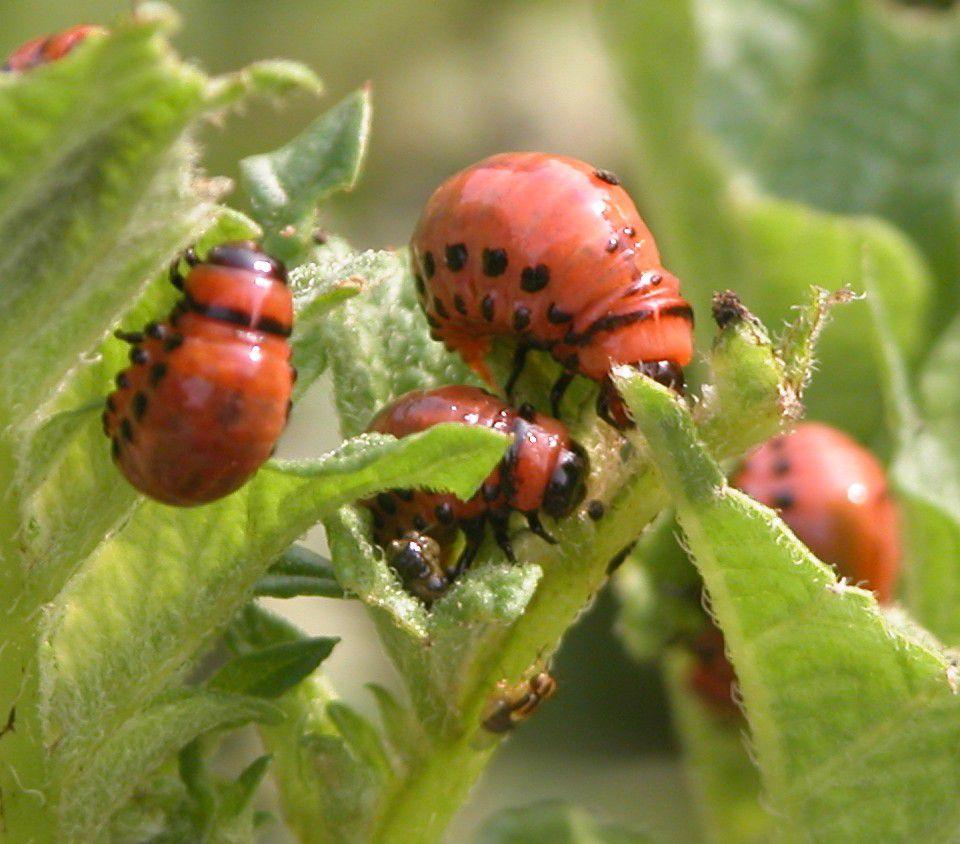 Colorado Potato Beetle Larva (Photo)