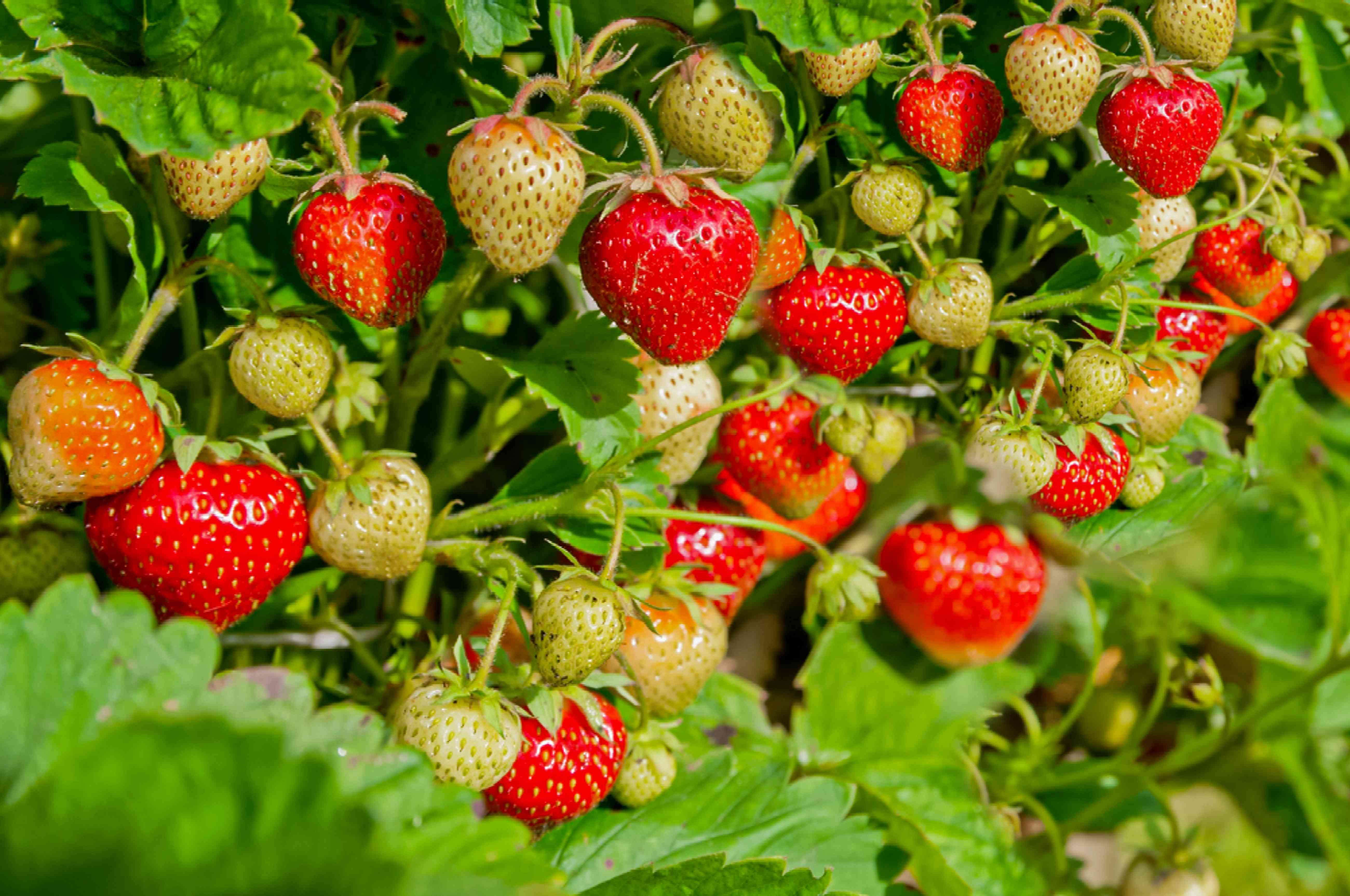 strawberries at different ripening stages