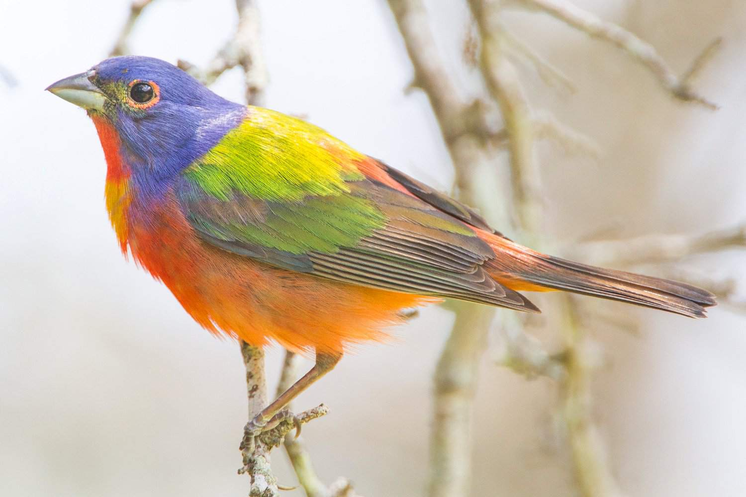 red painted bunting c033df78caebc0480e6