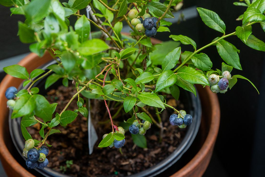 Organic blueberry bush in pot with green and blue blueberries hanging on thin branches