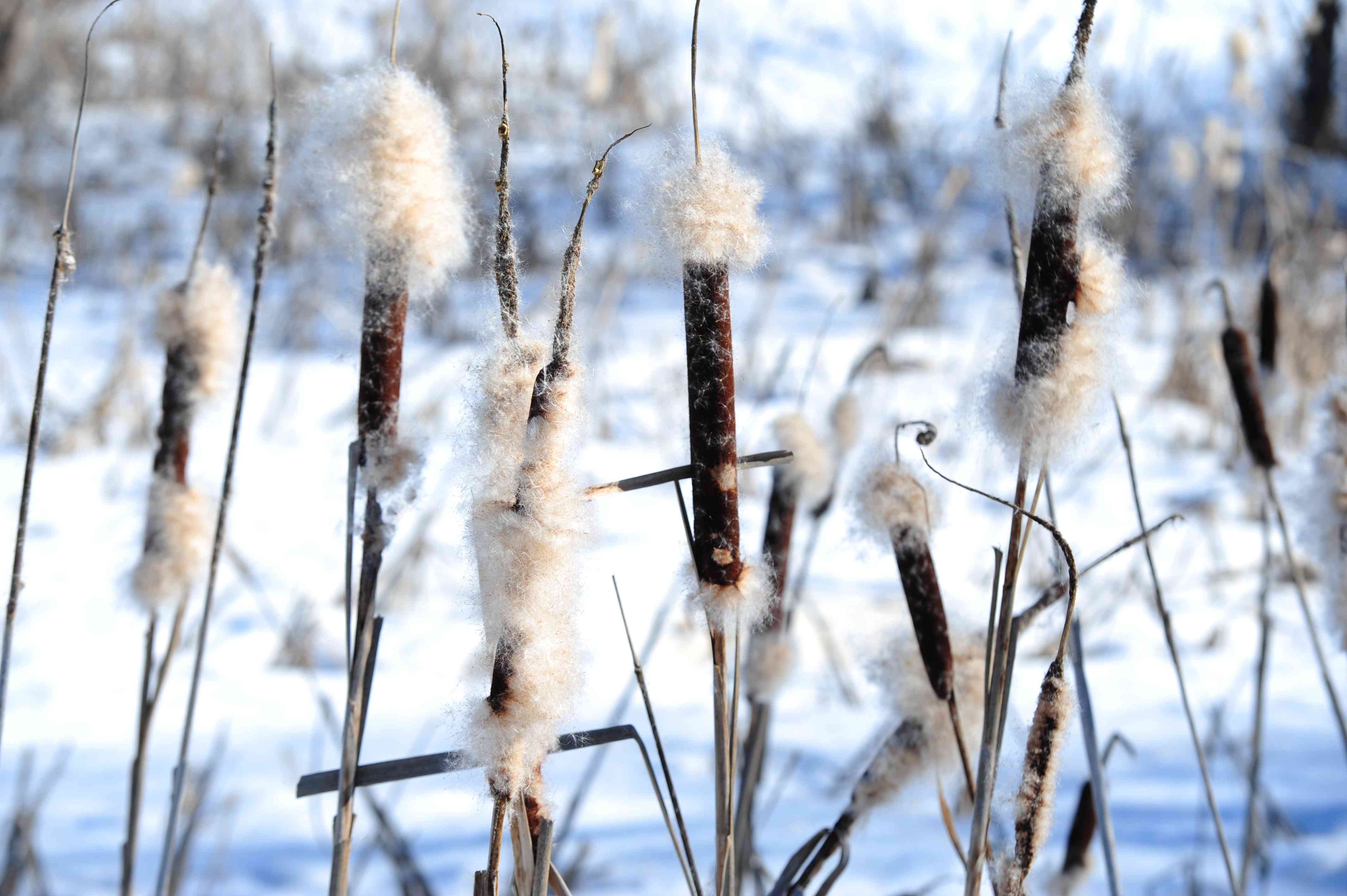 Common cattail plant on thin stems with sausage-shaped spikes covered with fuzzy cream-colored blooms in the snow