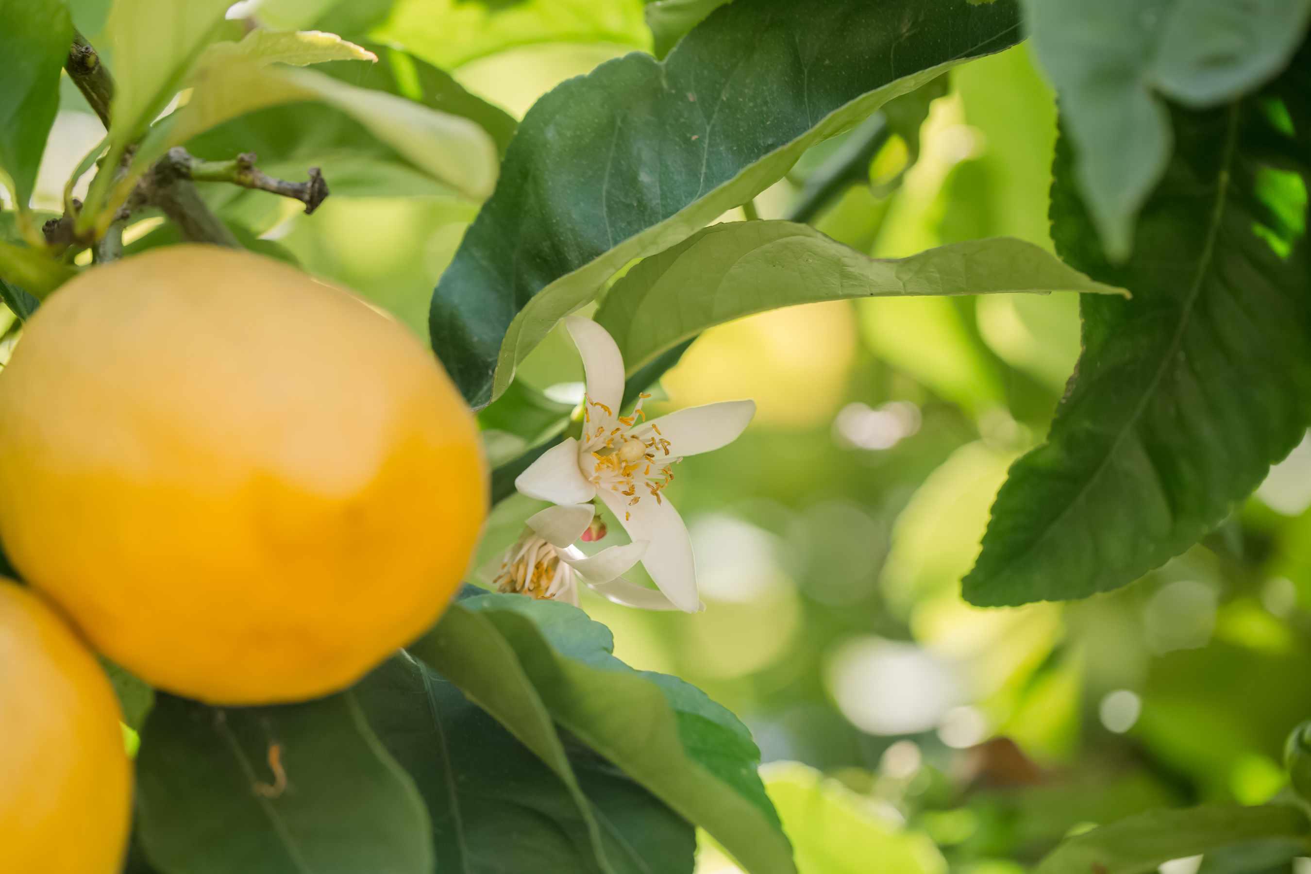 blossom on a lemon tree