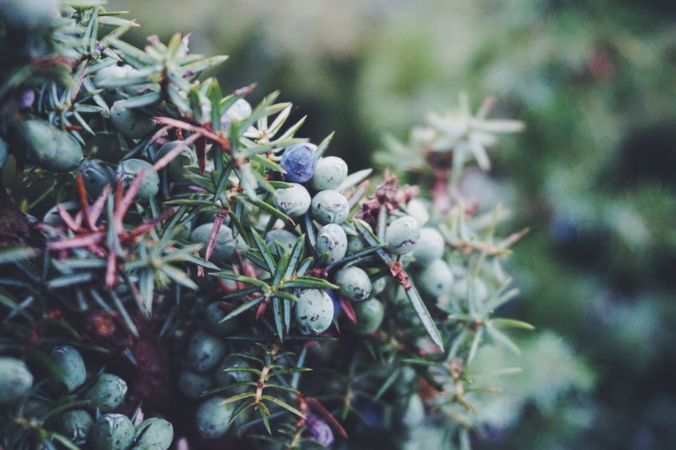 Close up shot of blue and purple common juniper berries and needles.