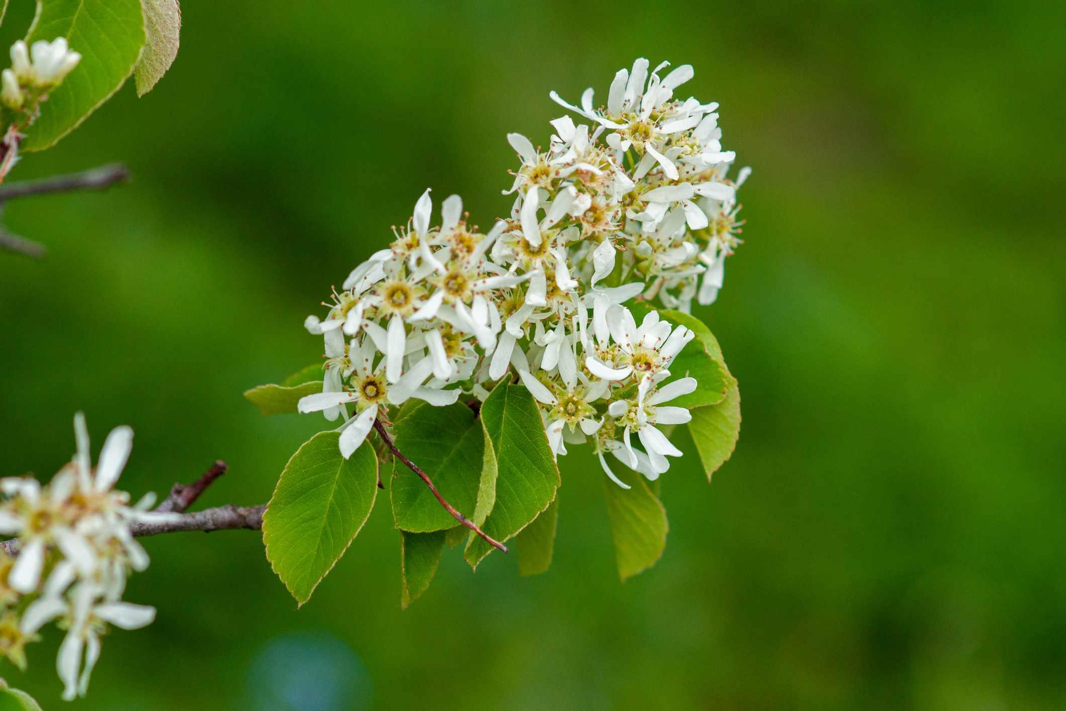 Common serviceberry