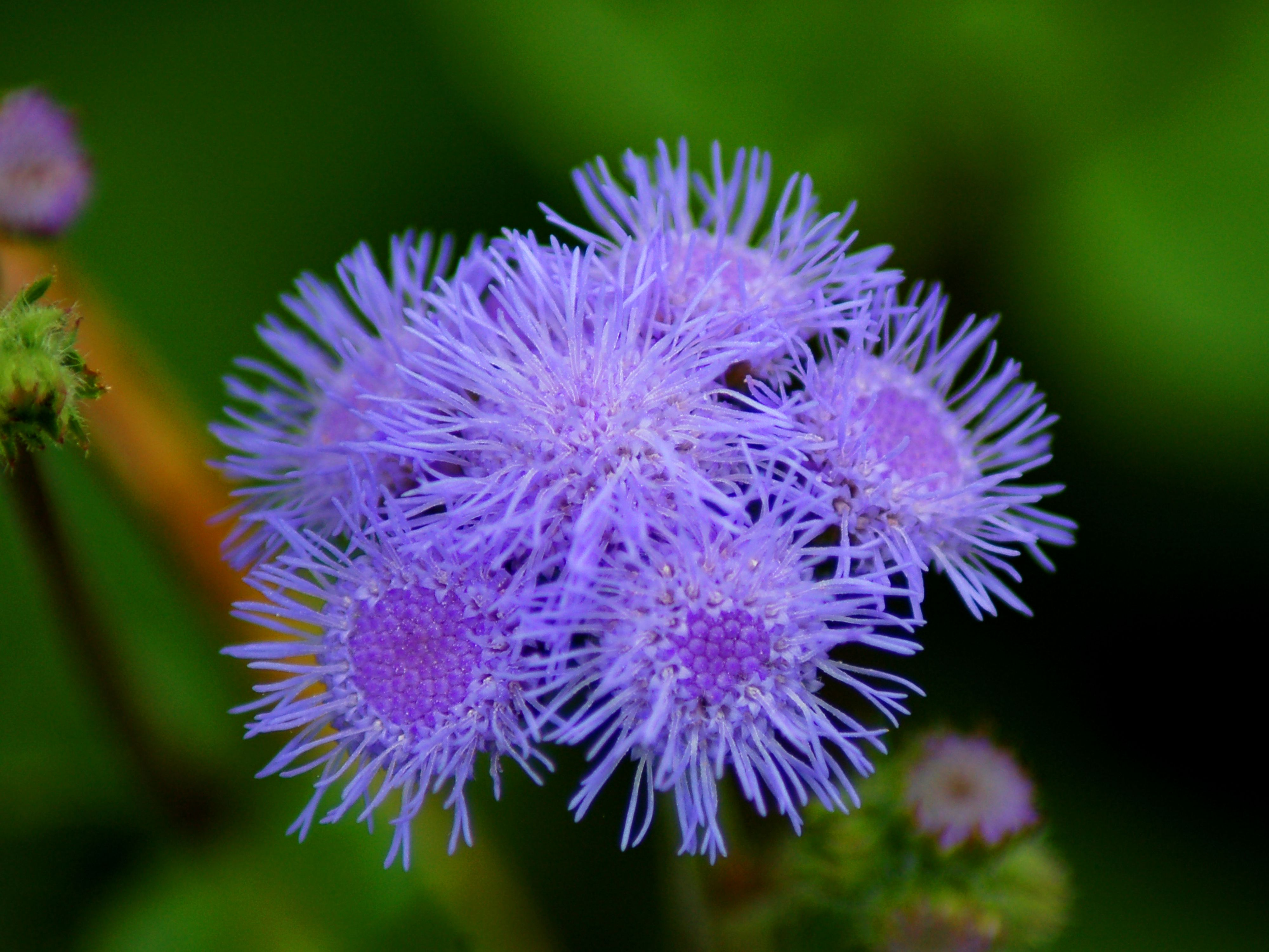 Blue Ageratum An Annual To Consider