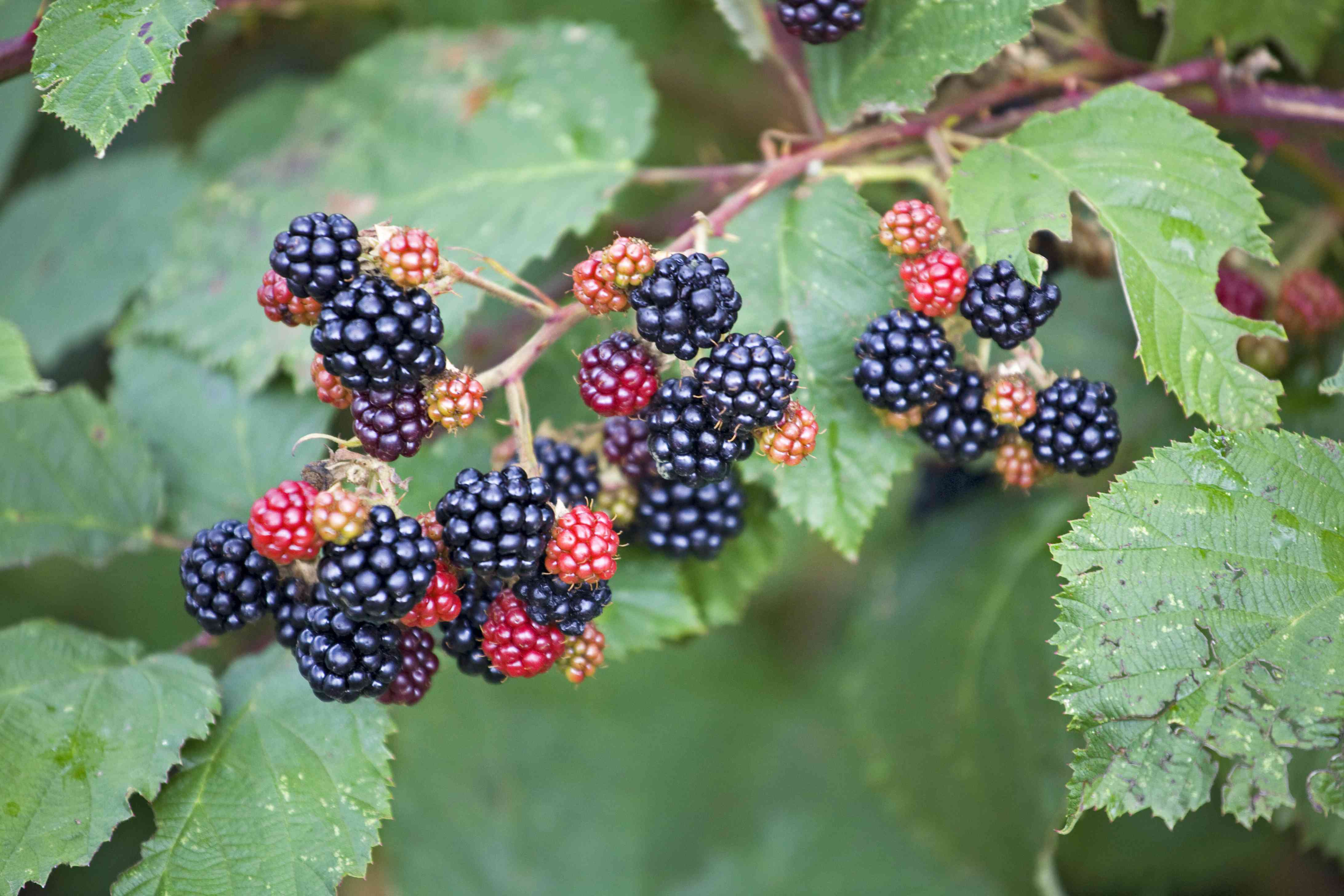 Himalayan Blackberry Vine with Fruit