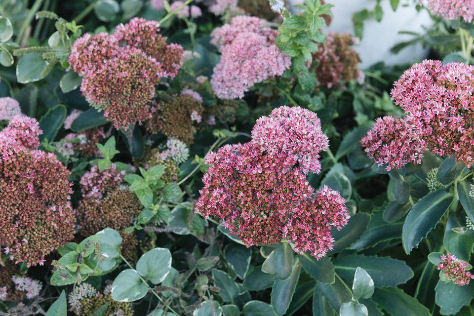 sedum autumn joy stonecrop