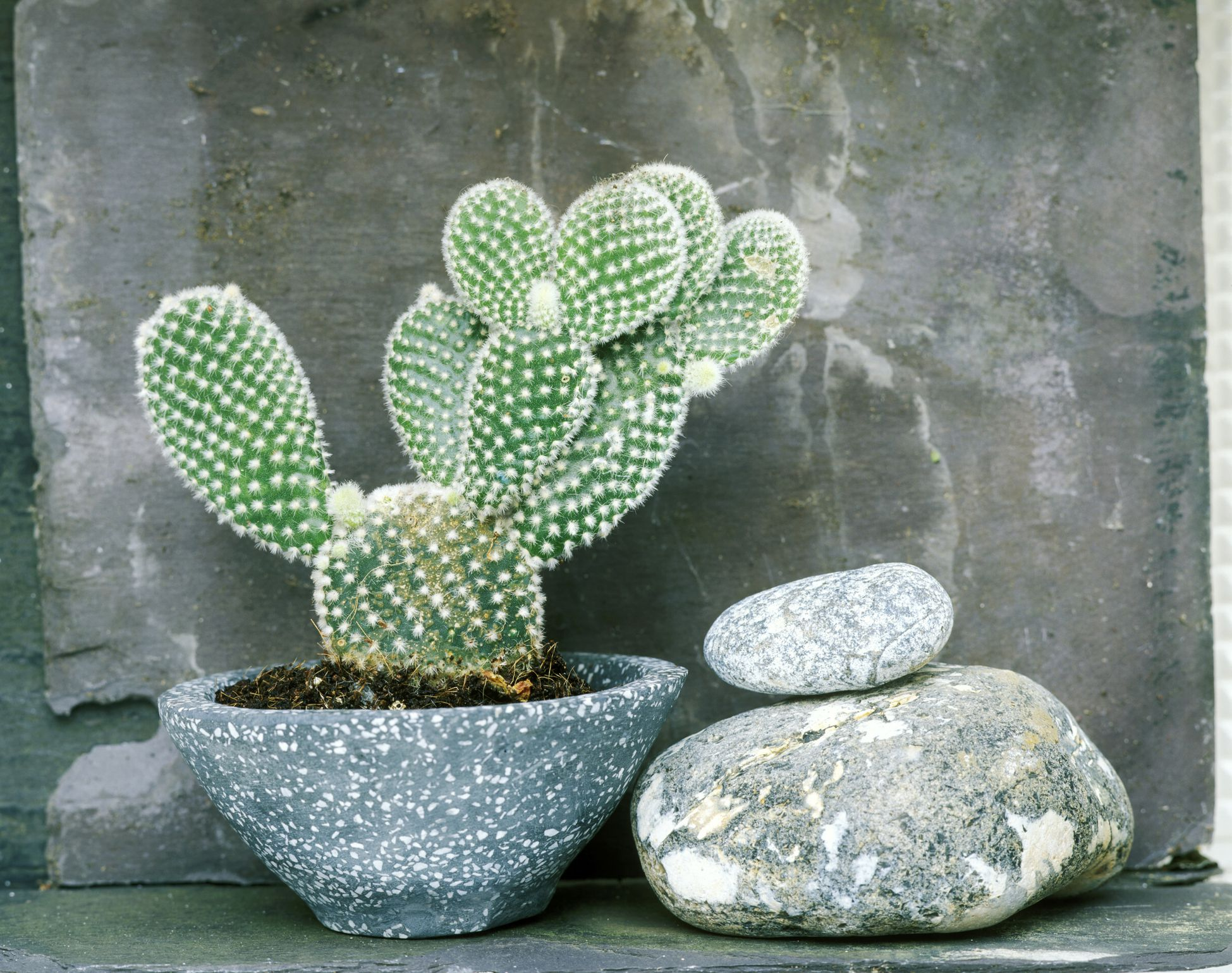 best cactus varieties to grow indoors. Black Bedroom Furniture Sets. Home Design Ideas