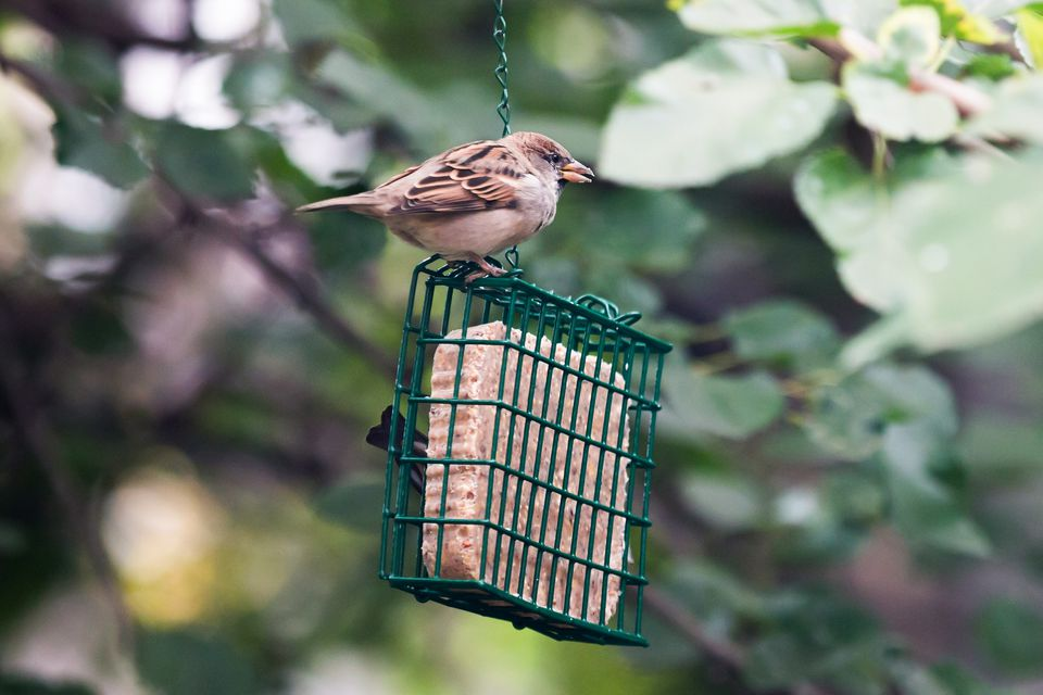 bird at a suet feeder