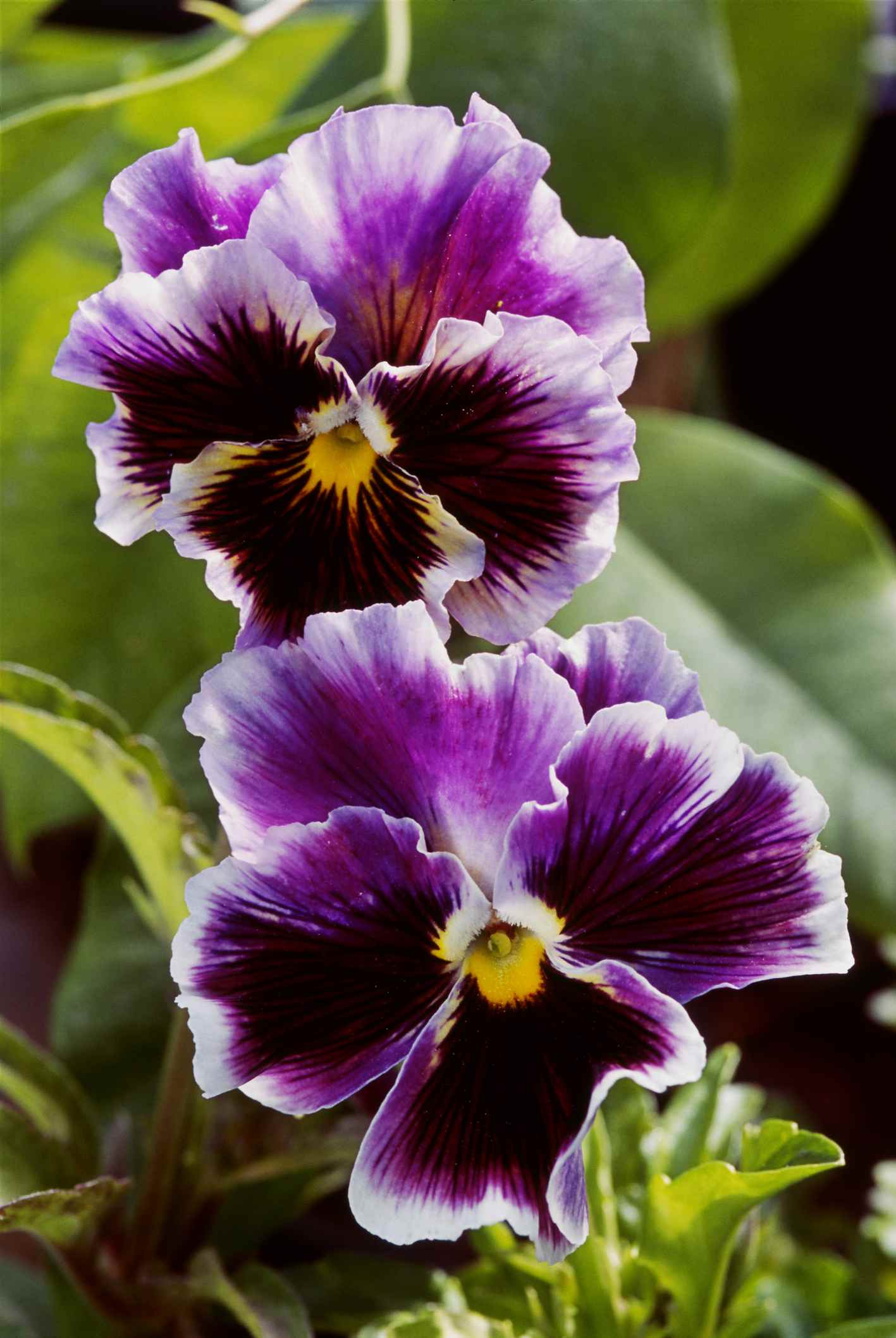 'Chalon Supreme' pansies with white-edged purple petals and yellow centers