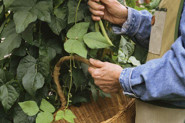 Picking green beans on vine