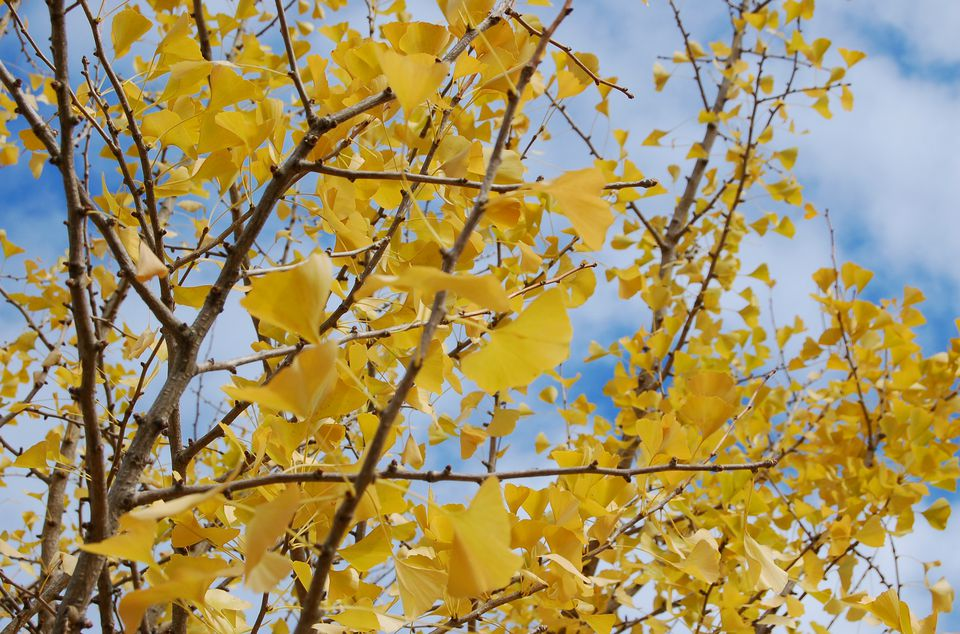Ginkgo biloba tree branches covered with fall leaves.