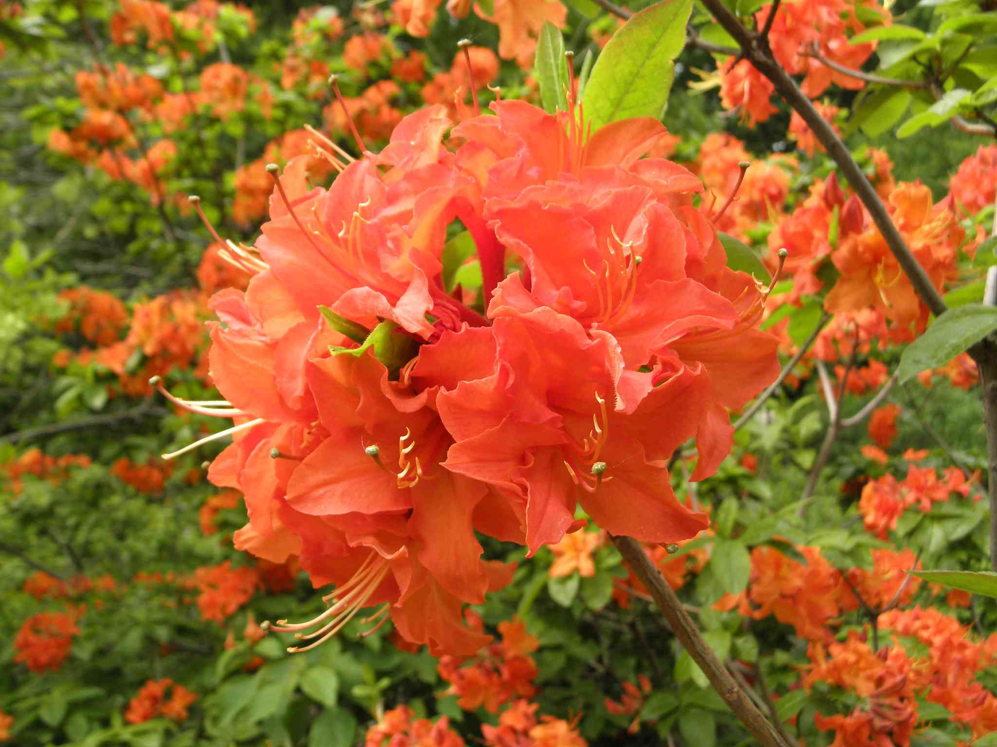 azalea de 'luces mandarinas'