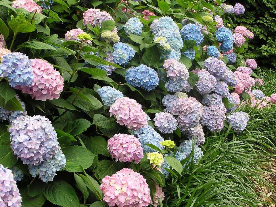 Hydrangea Hedge Heaven Beautiful Hedge in DC