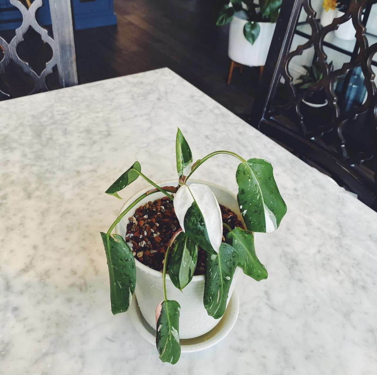 philodendron white princess with droopy leaves