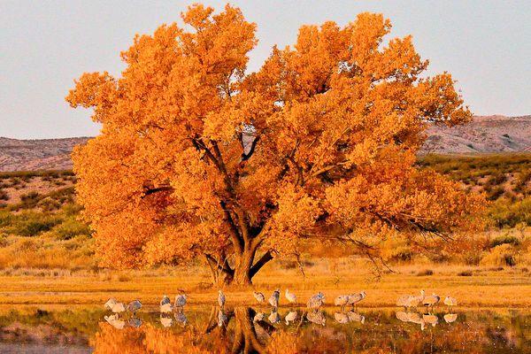 Sandhill Cranes on Fall Migration