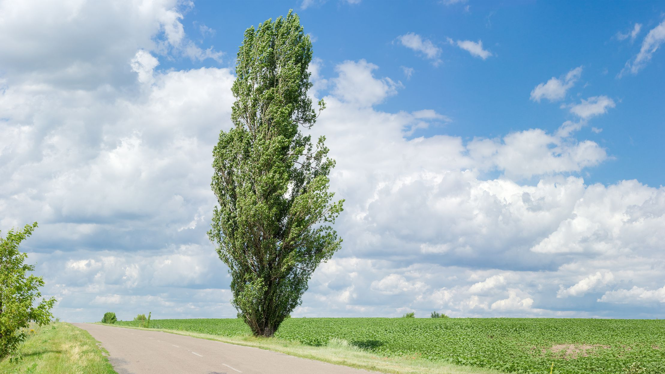 How to Grow and Care for Lombardy Poplar Trees