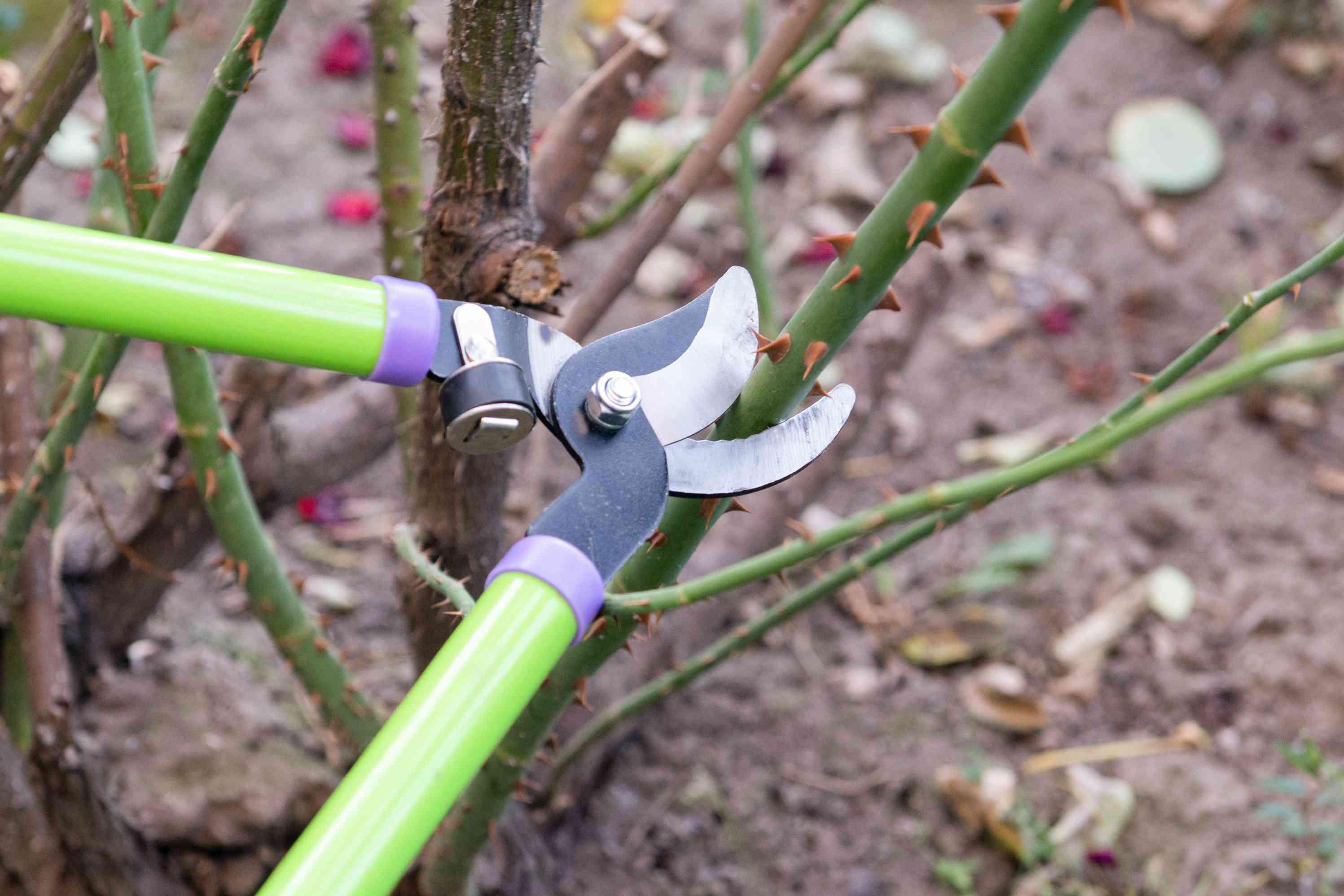 Green loppers pruning hybrid tea rose framework canes under living nodes