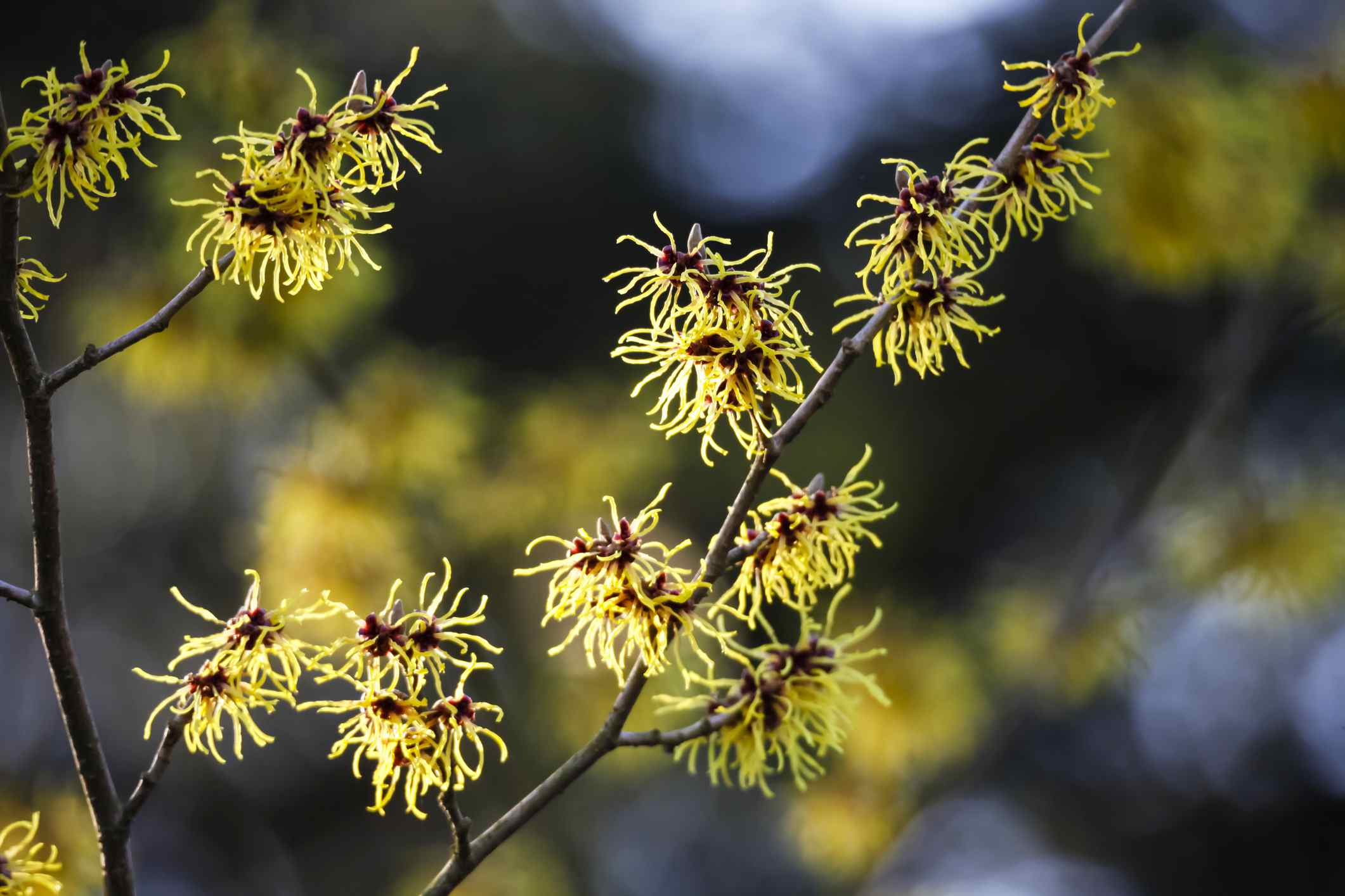Branches of witch hazel shrub in bloom
