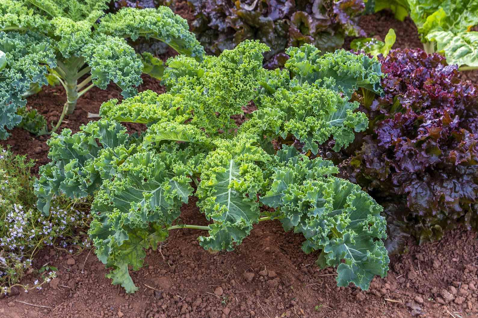 kale growing in the garden