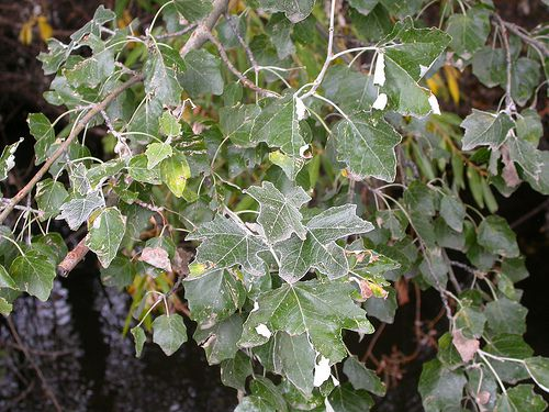 Picture of White Poplar