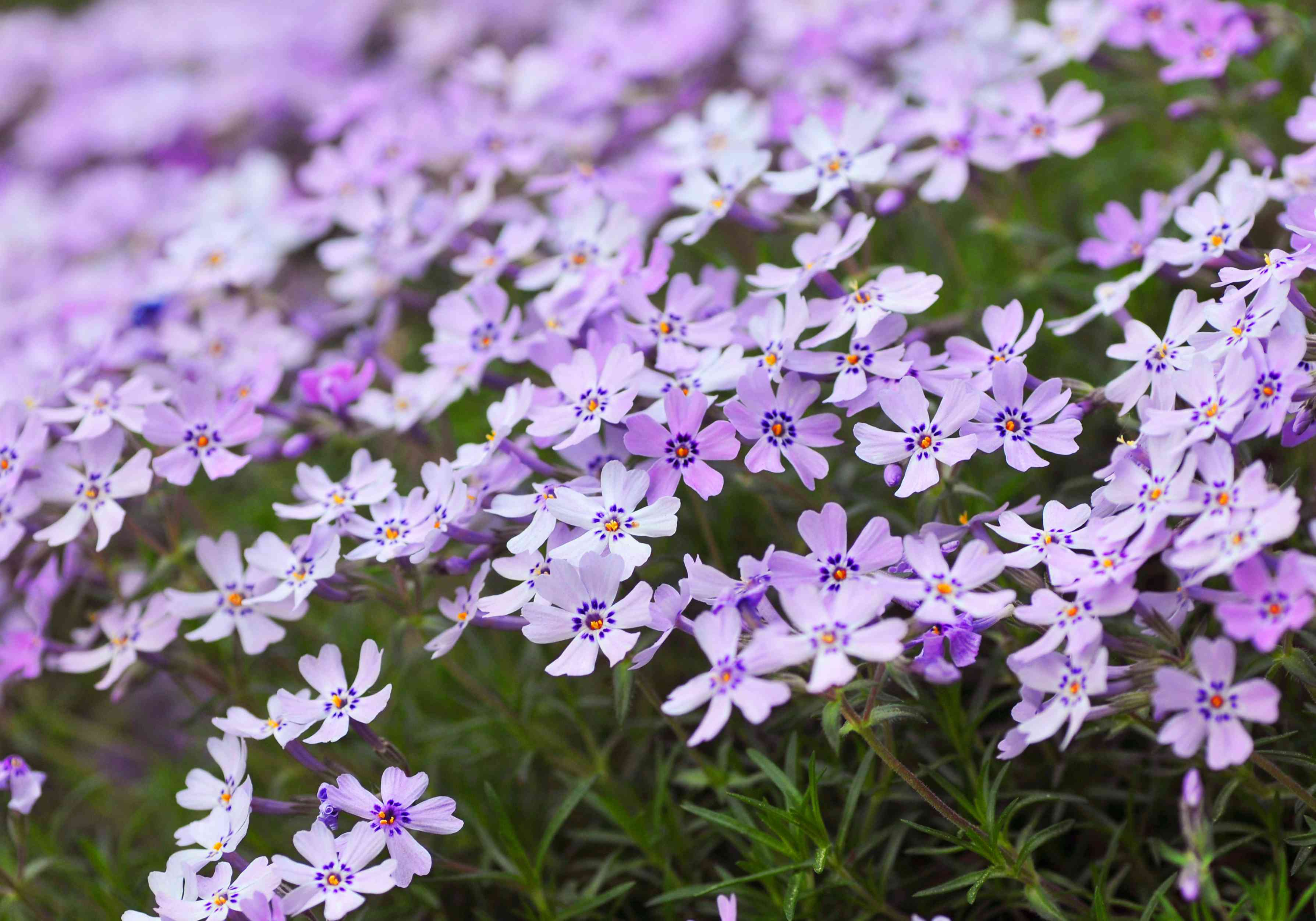 Creeping phlox with light purple flowers and orange centers in ground