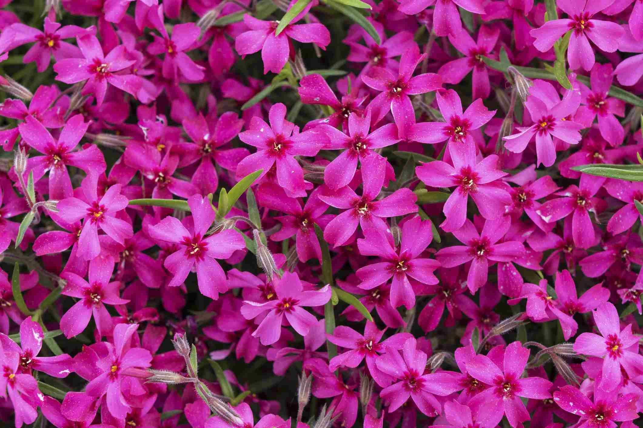 Creeping phlox flowers in hot pink.