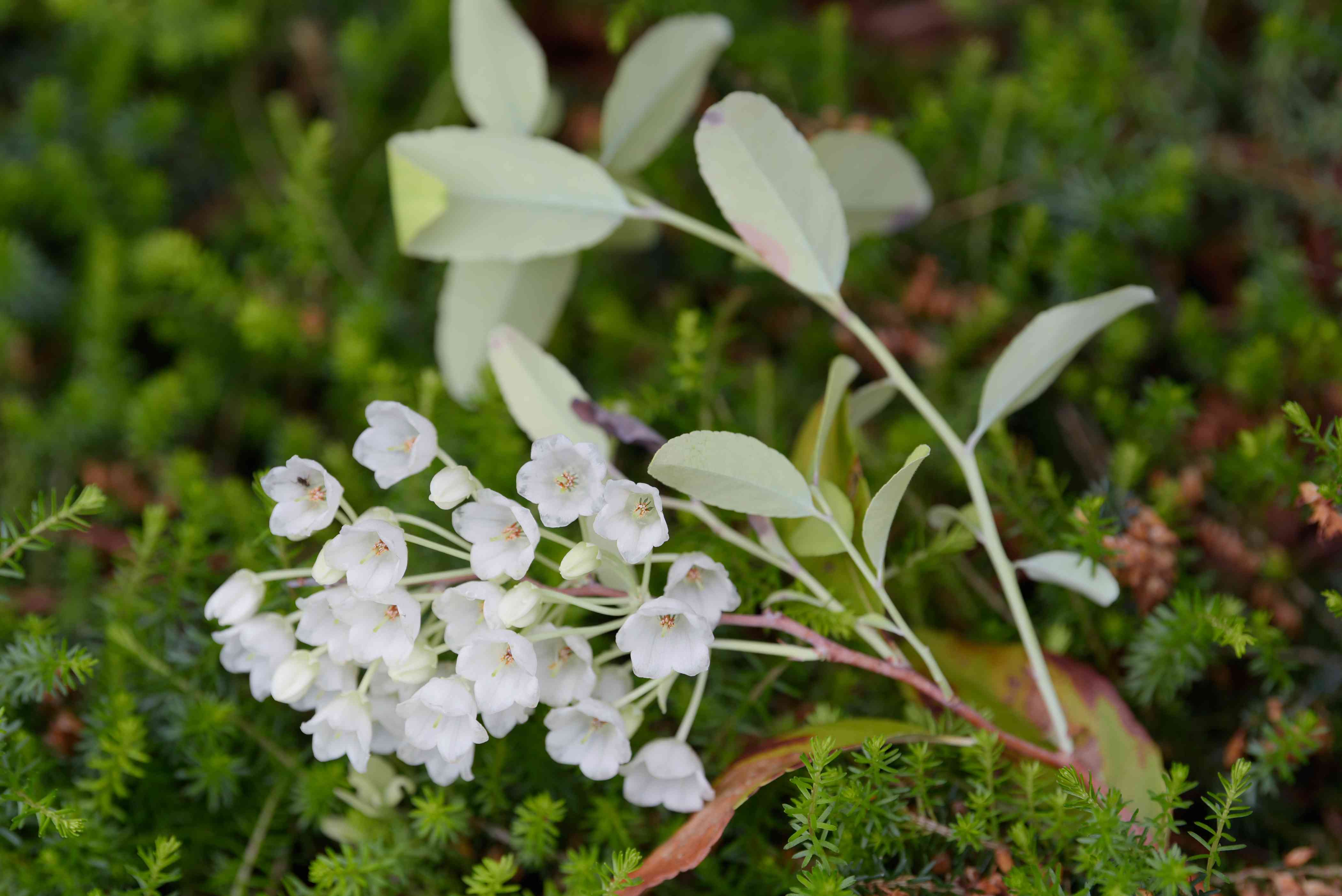 Honeycup plant with small white bell-shaped blossoms on edge of stem with gray-green leaves