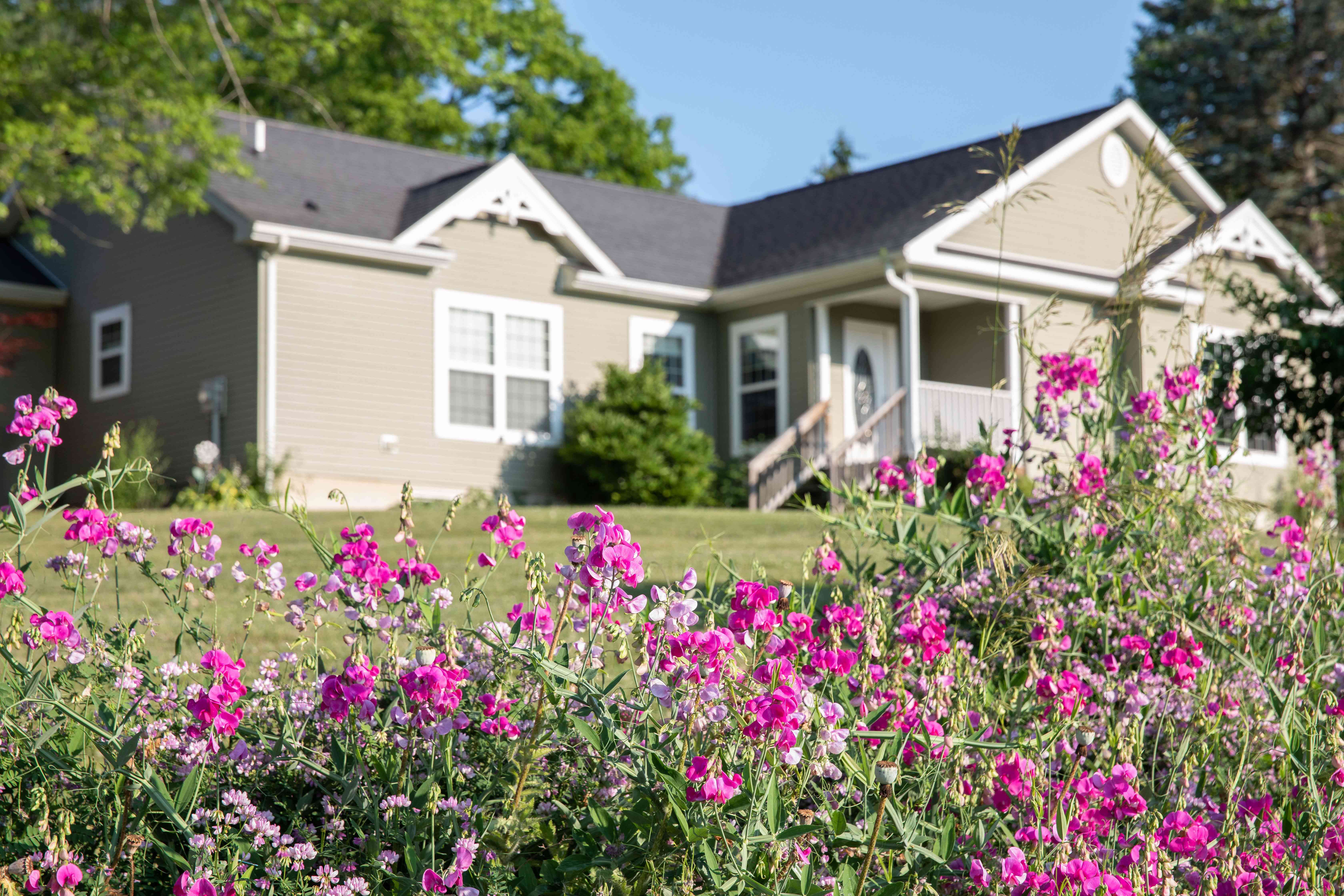 Sweat pea flowers with bright pink petals in garden in front of house