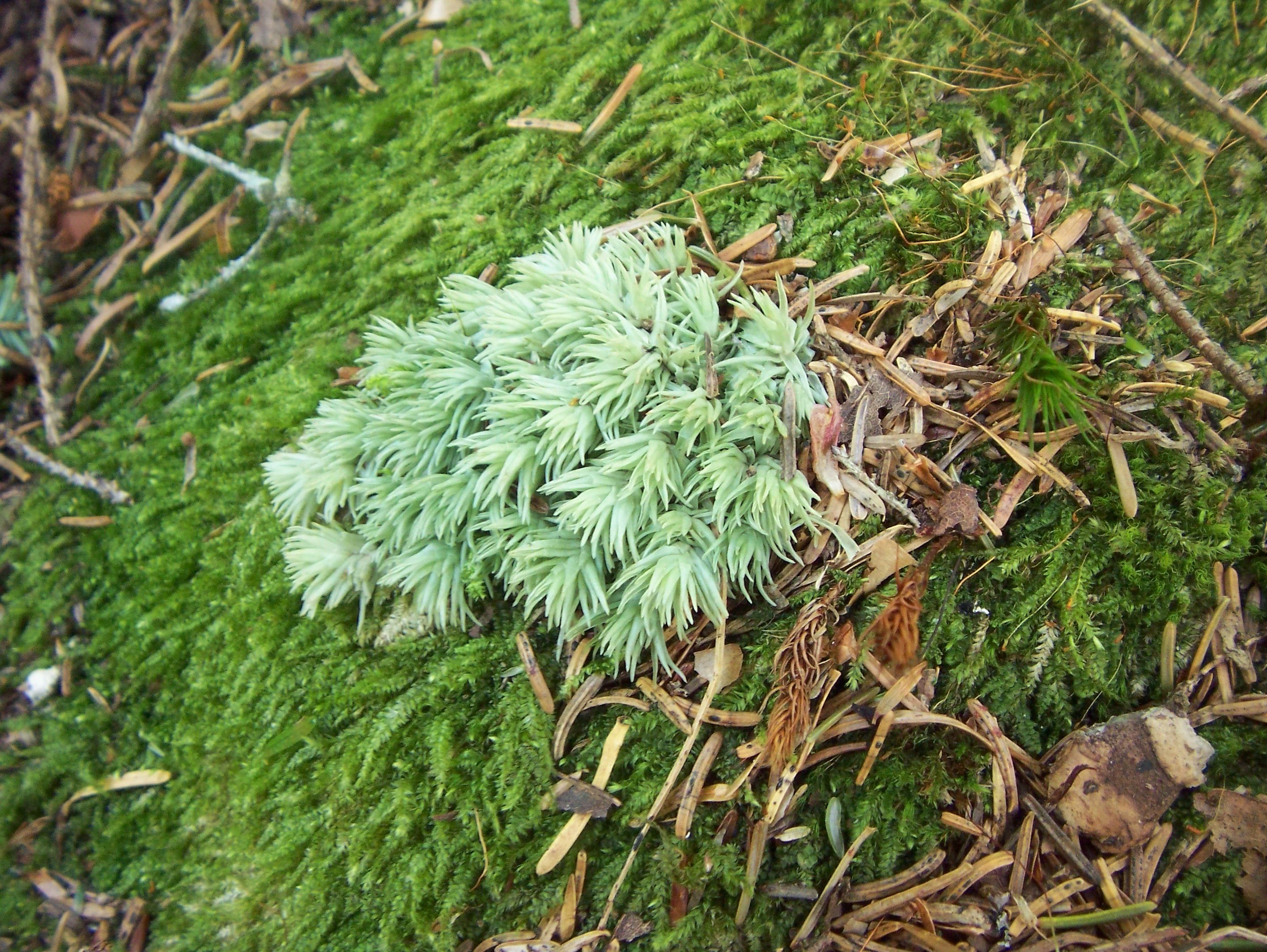Two moss species grow together.