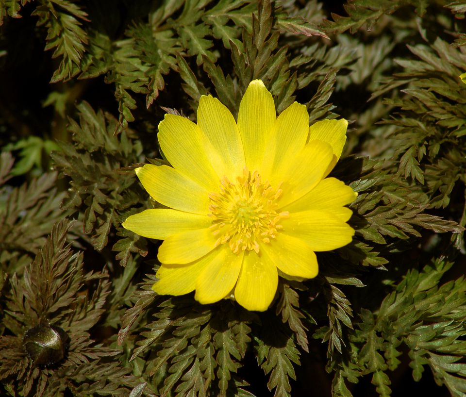 Adonis amurensis with its yellow flower and feathery leaves.
