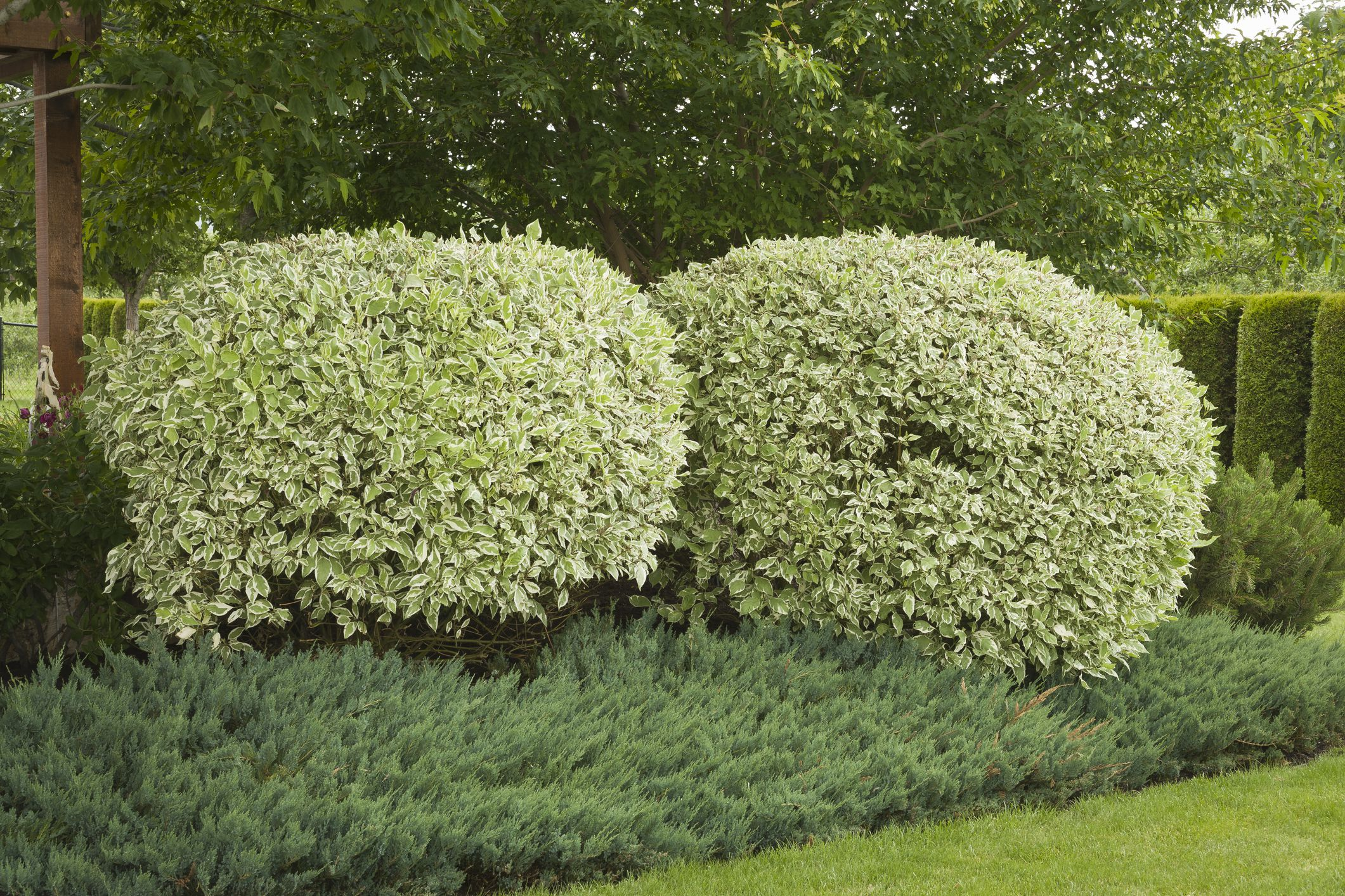 Red Twig Dogwood Care And Growing Guide