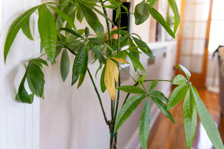planta de interior con hojas amarillentas