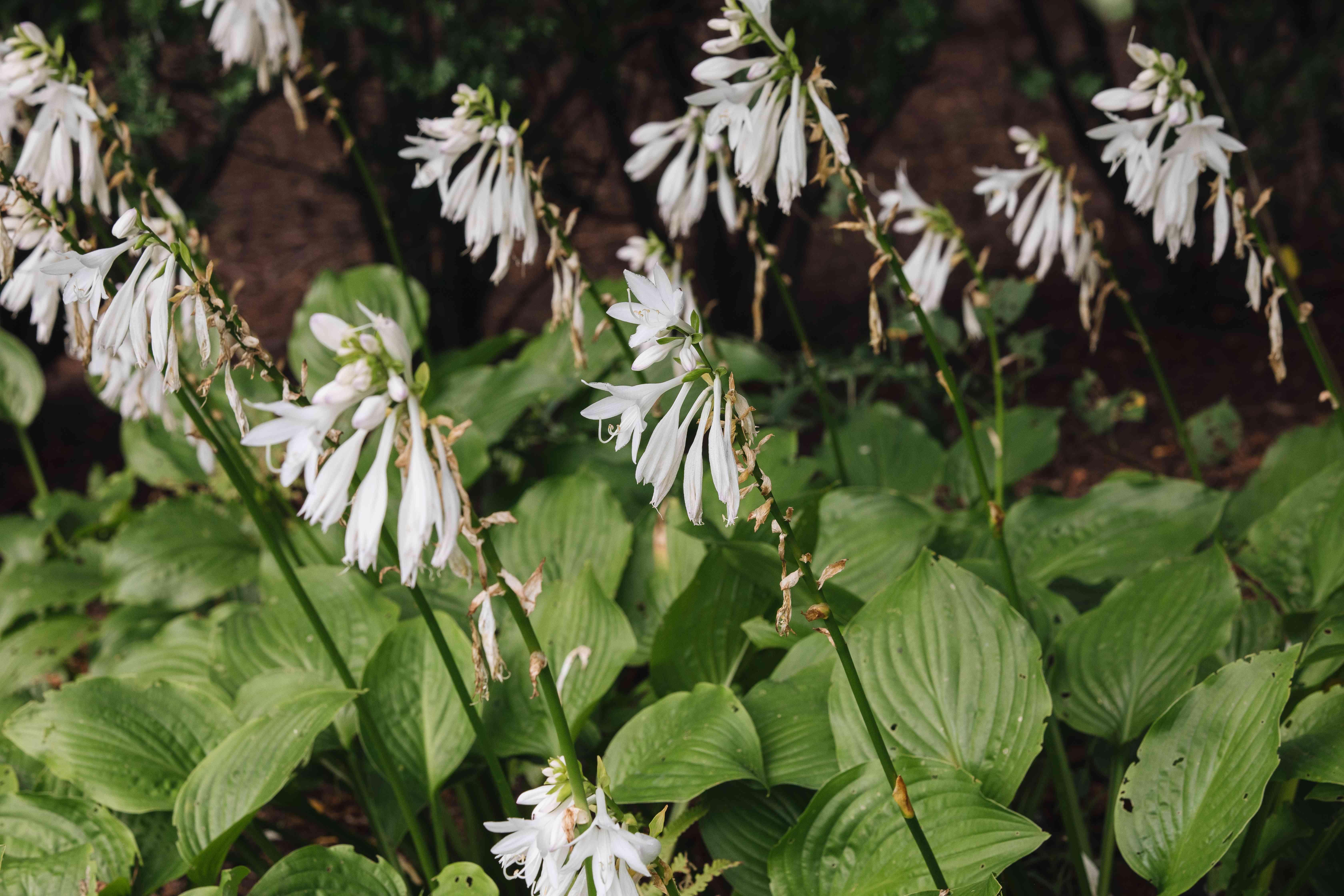 flowering hostas