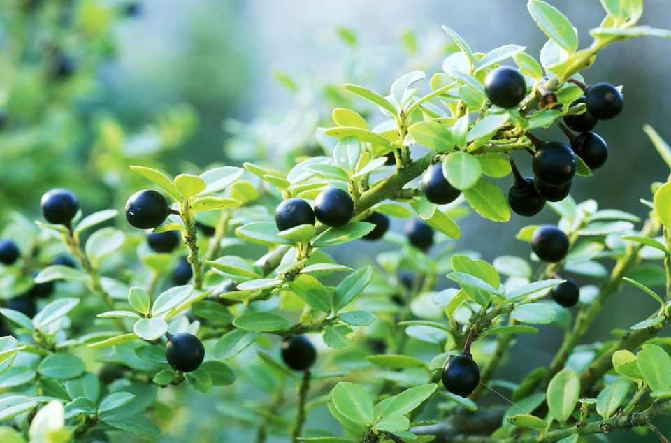 ilex crenata convexa (japanese holly) (agm) (female) with black berries.