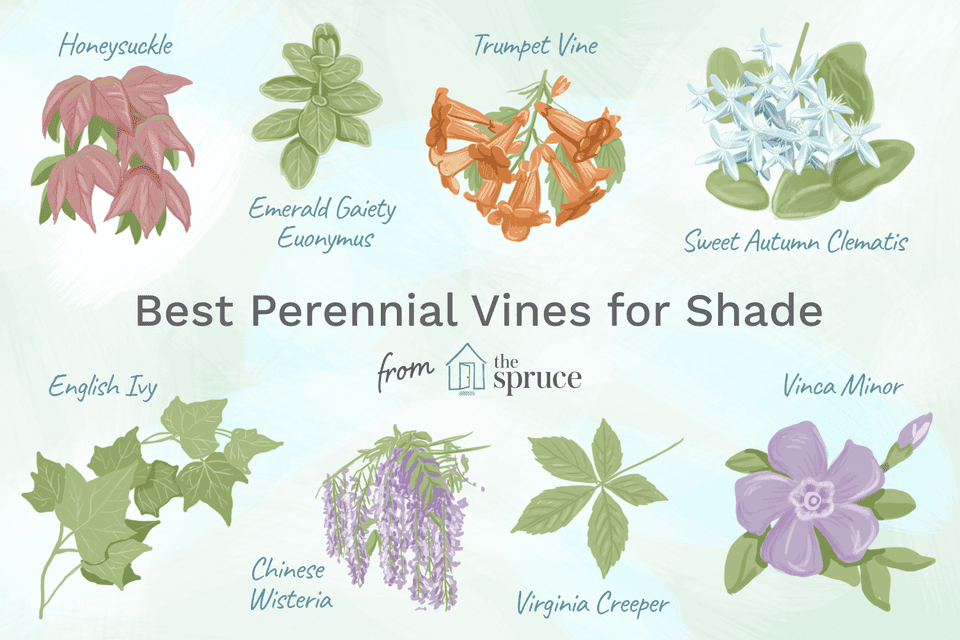 An illustration of perennial vines for shade