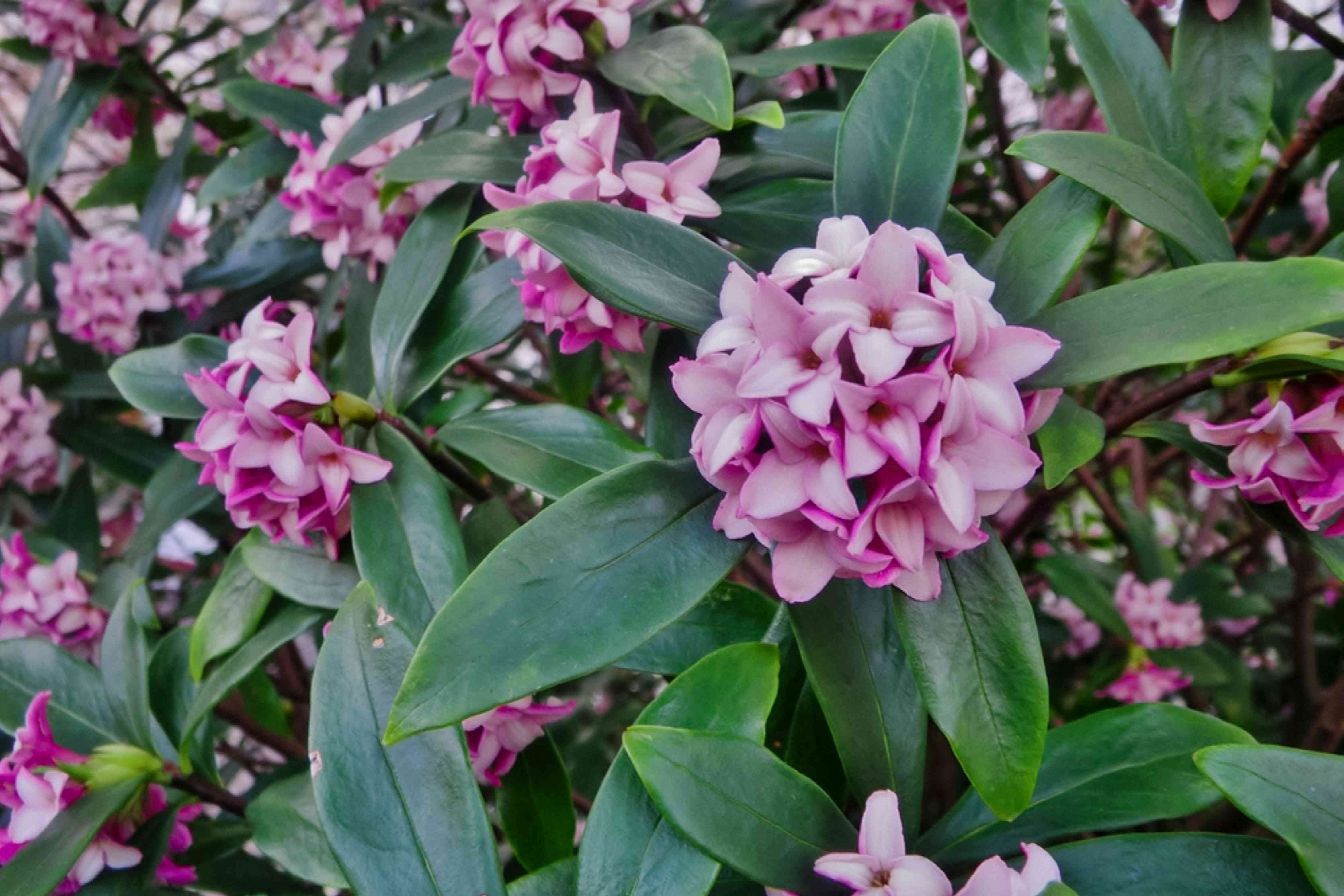 Poisonous daphne bush with light pink flowers and leaves