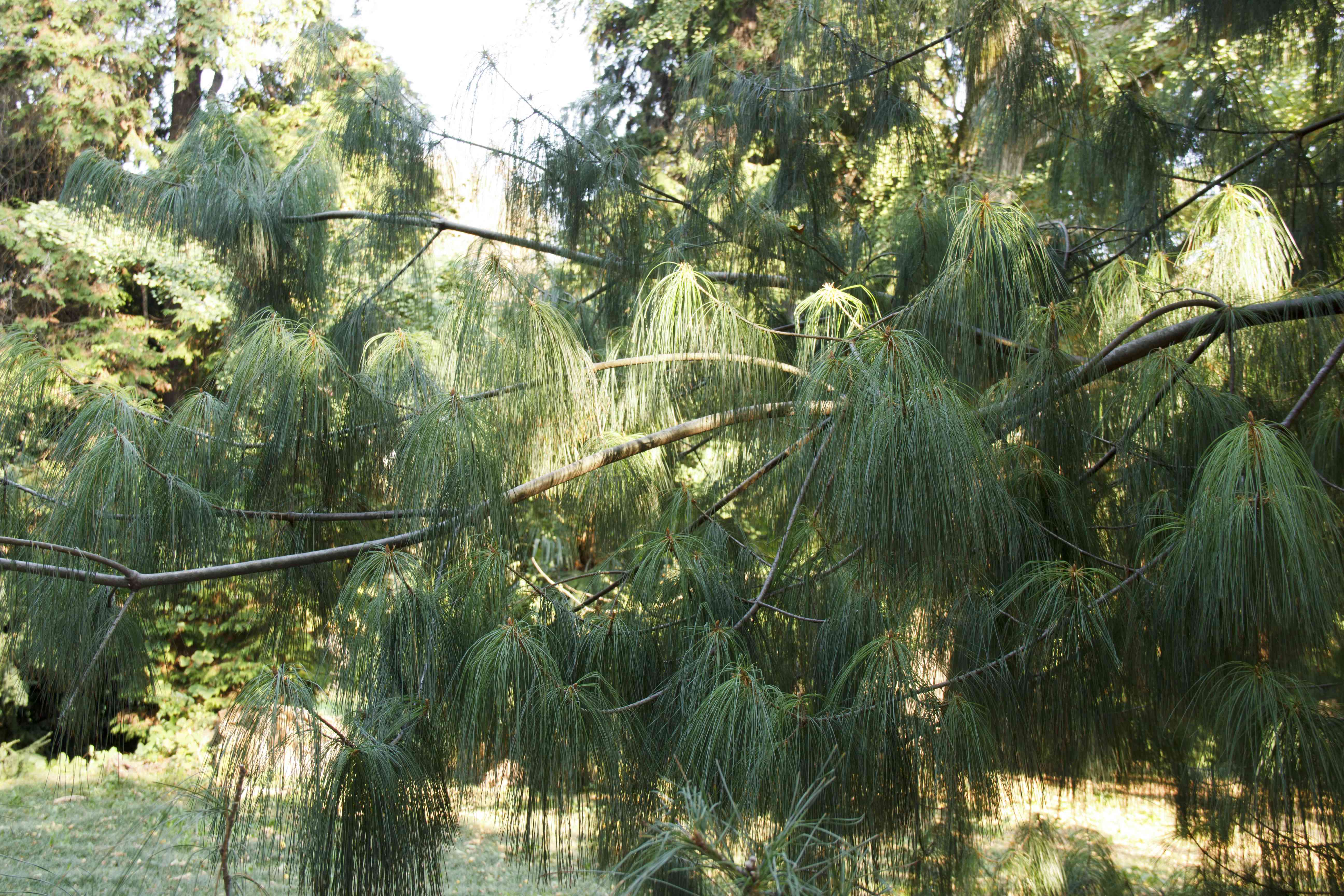 Mexican Weeping Pine Pinus patula