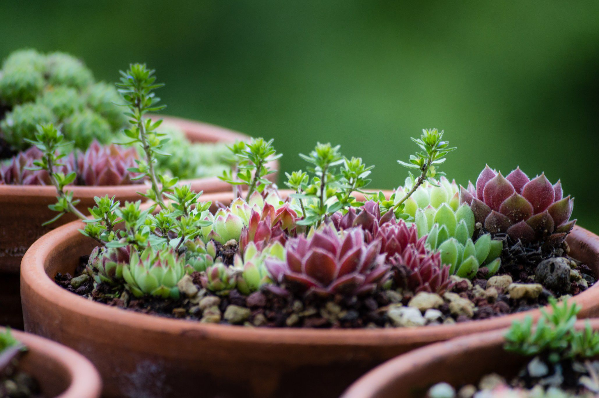 Caring For Varieties Of Perennial Succulent Plants