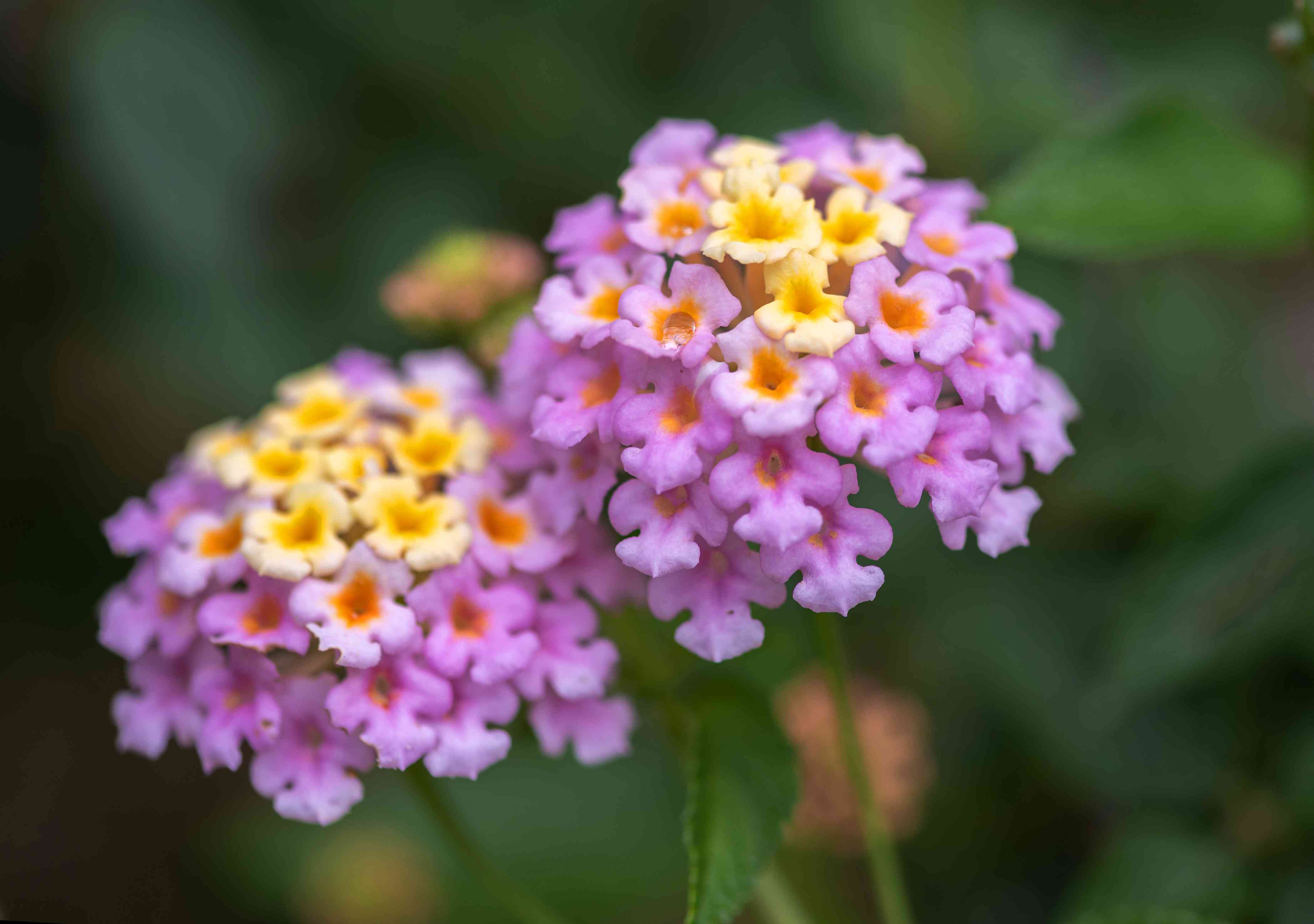 Lantana plant with tiny yellow and pink-purple flowers clustered together on stem ends closeup